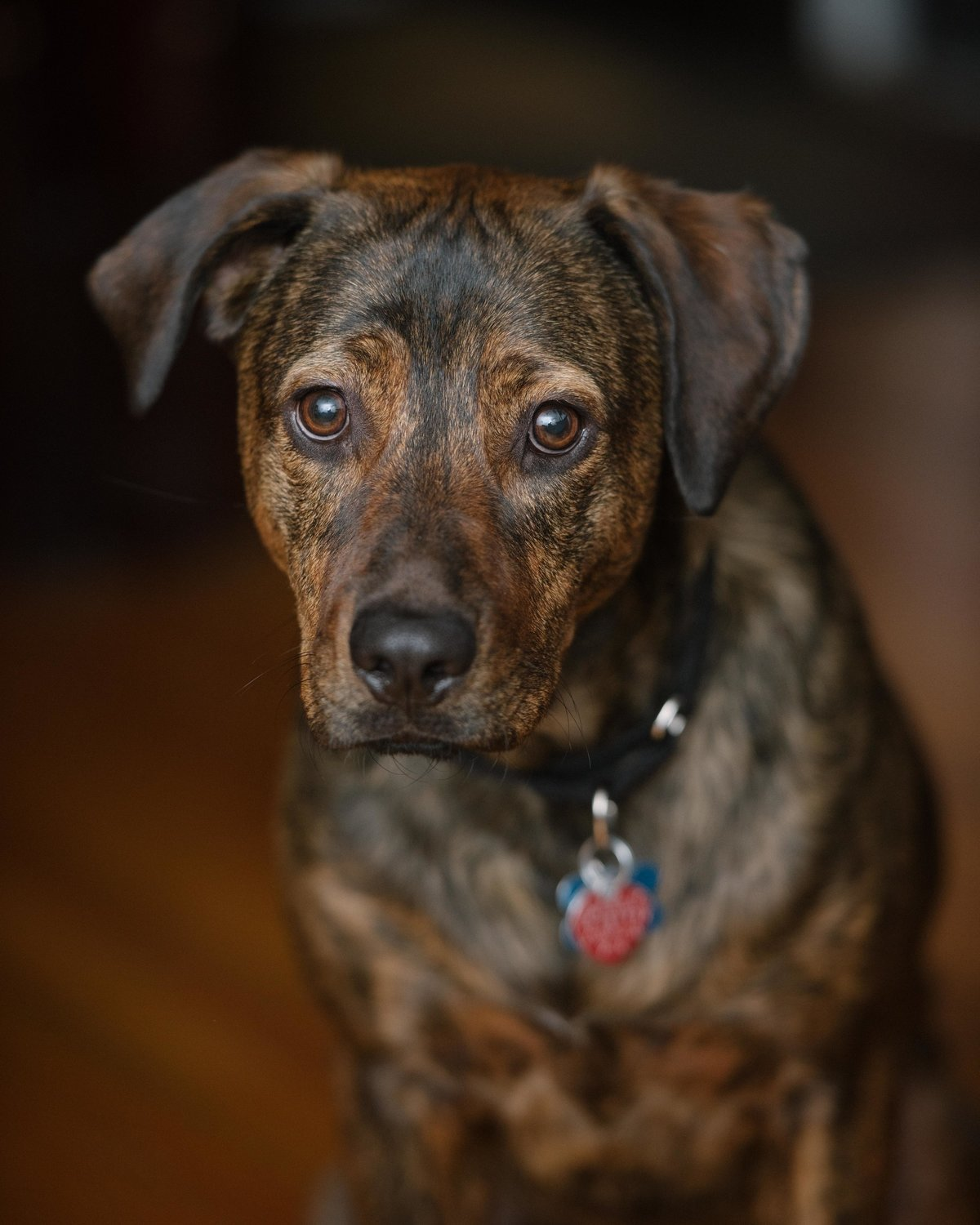 Portrait of brindle dog, Chicago IL.