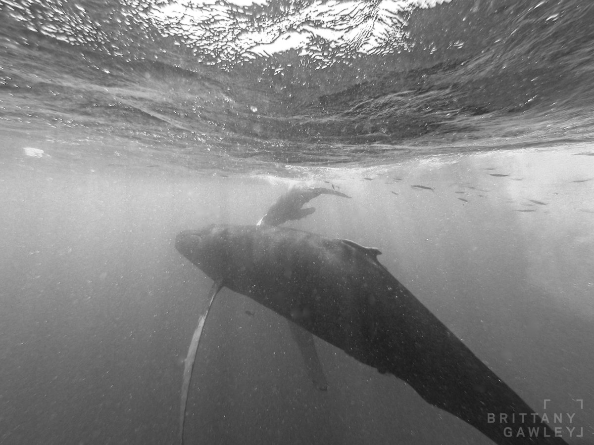 Humpback whale silverbank by Brittany Gawley Photography-3