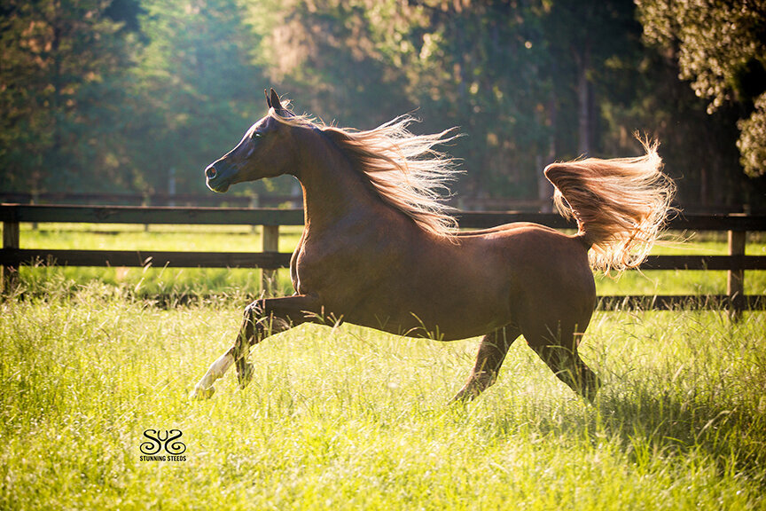 flaxen chestnut arabian mare photo by Stunning Steeds