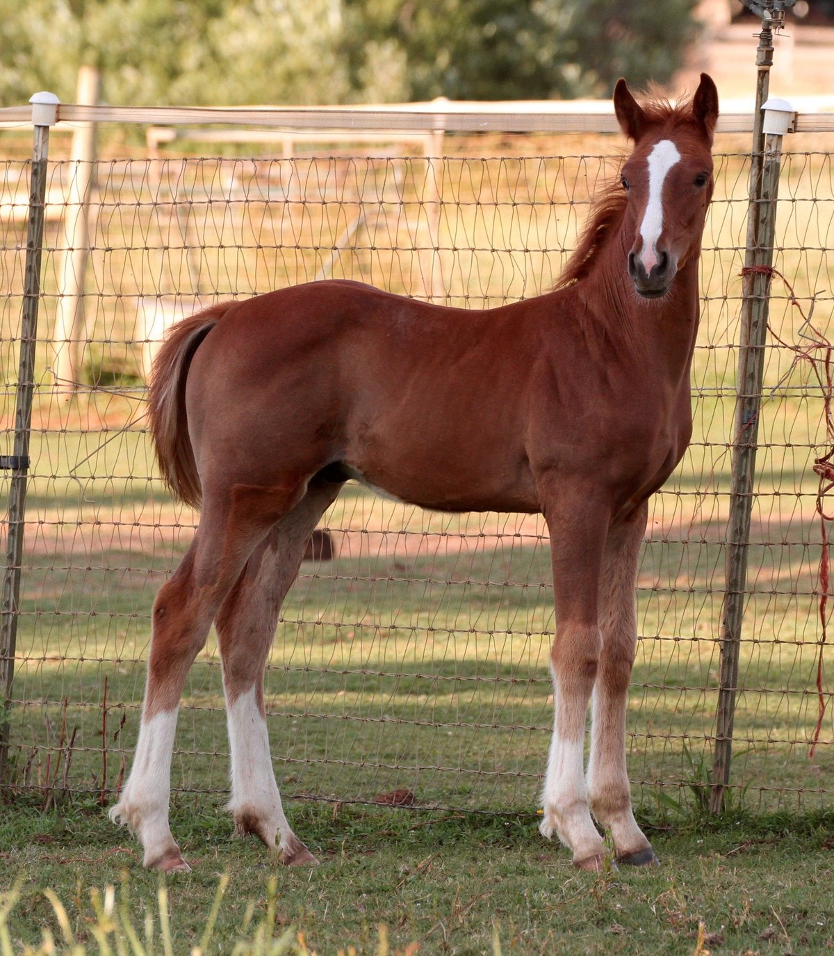Event Horse Foal
