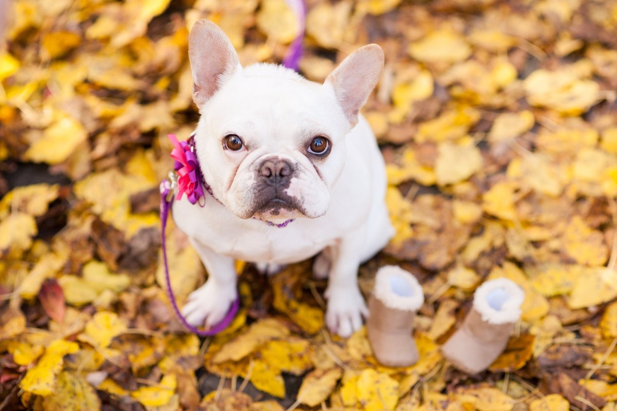 richmond pet portrait session with french bulldog