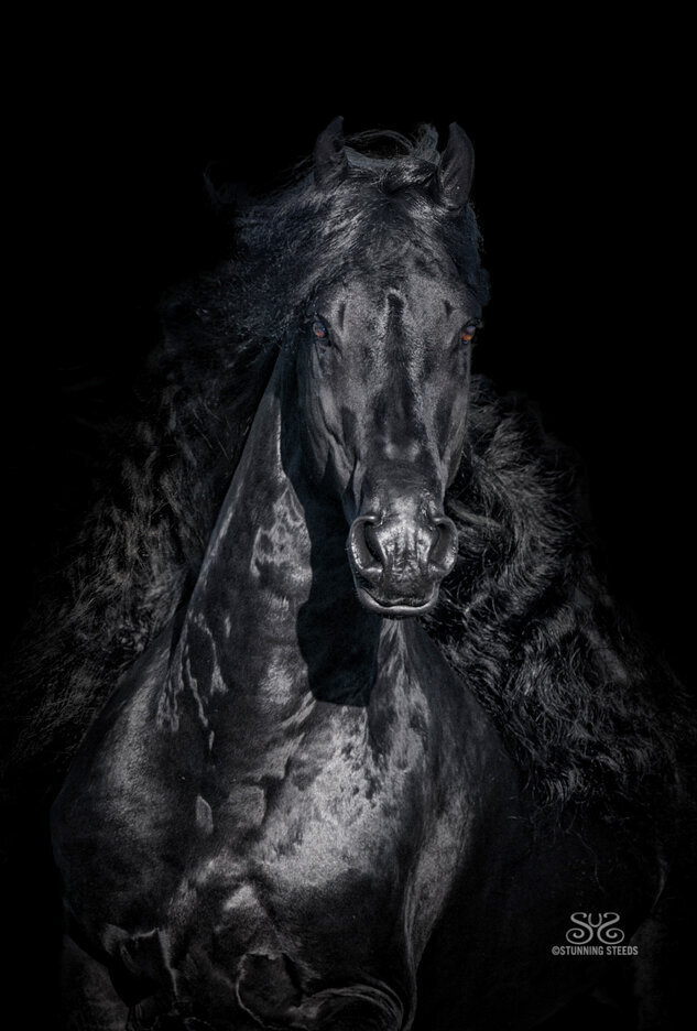 stunning-steeds-photo-Wilrick-black-friesin-stallion