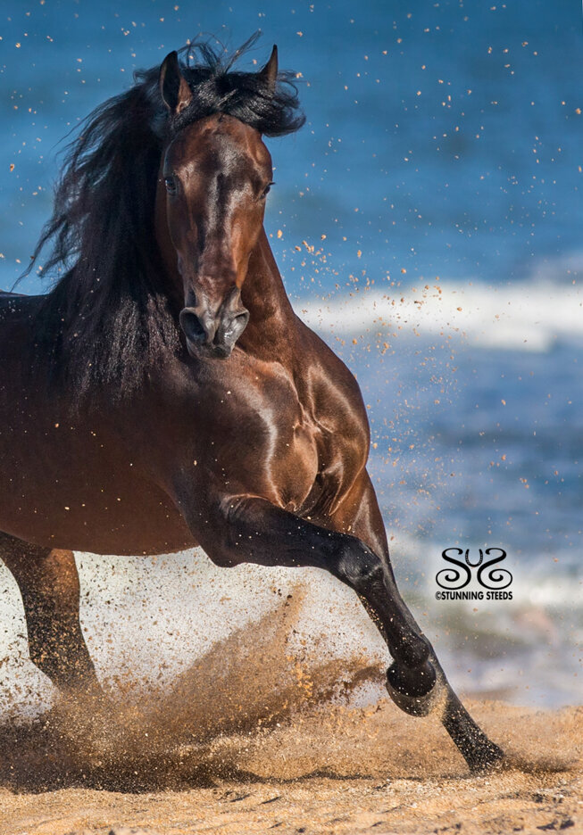 stunning-steeds-photo-stallion-on-beach