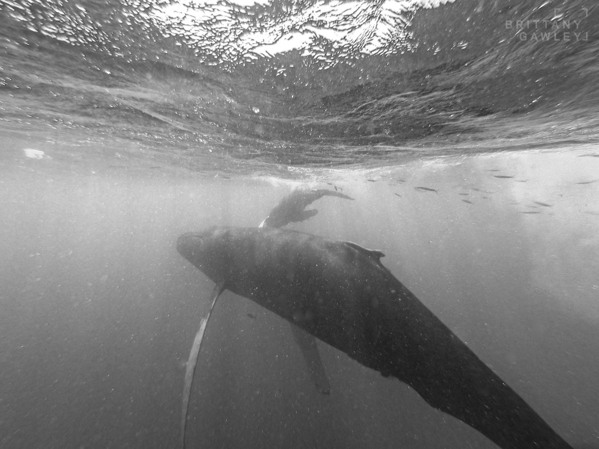 Humpback whale silverbank by Brittany Gawley Photography-3-2