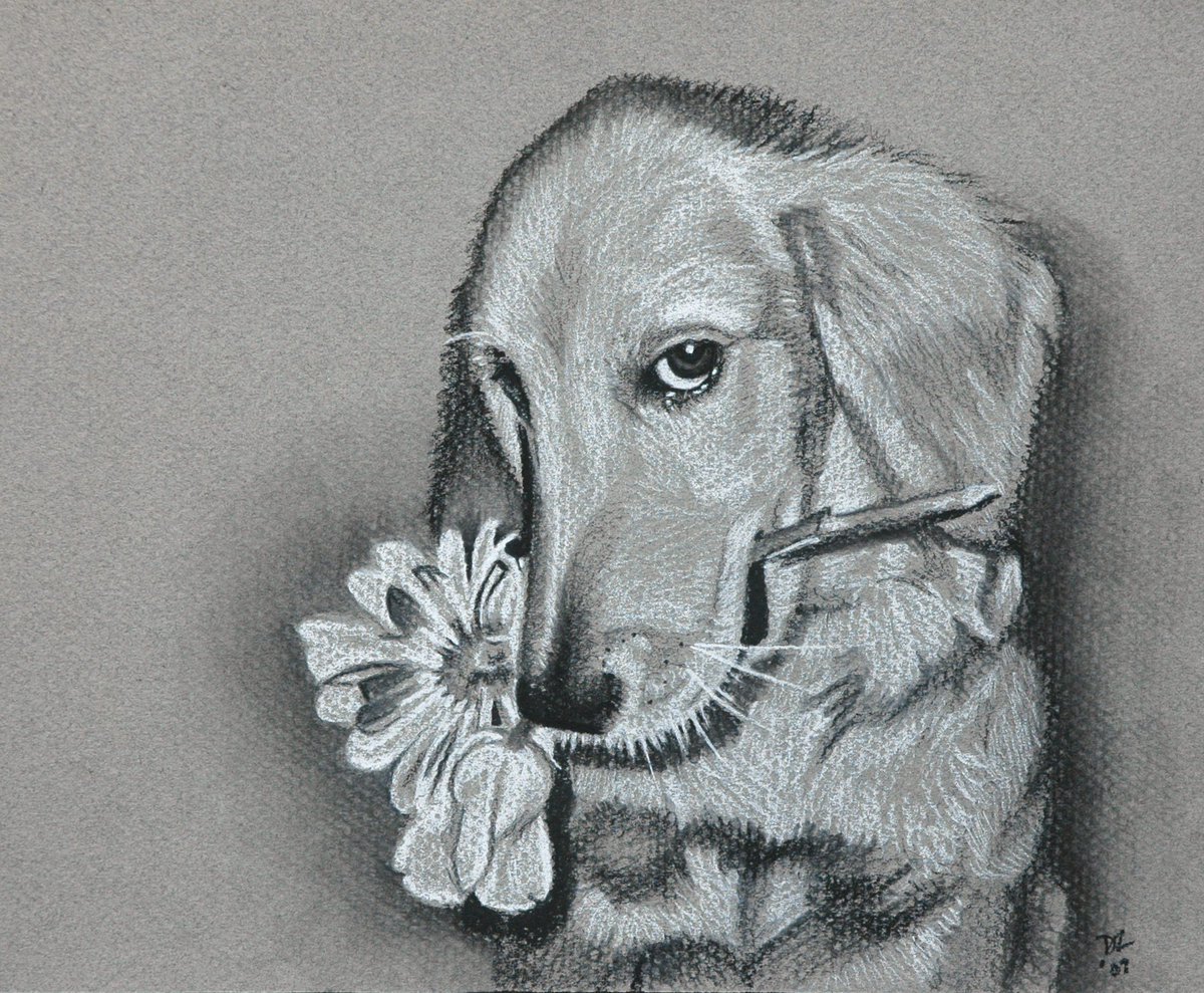 2007-05 Golden Retriever - charcoal on paper - 8X10-2