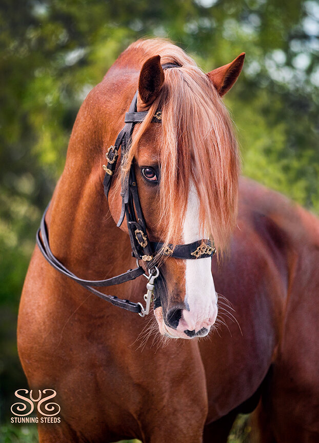 chestnut lusitano stallion portugal