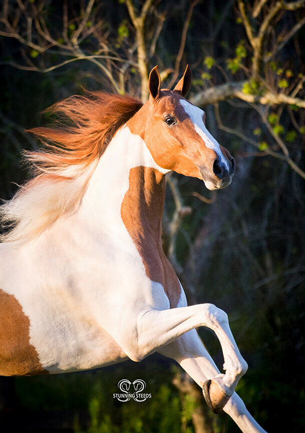 pinto saddlebred blue eyes