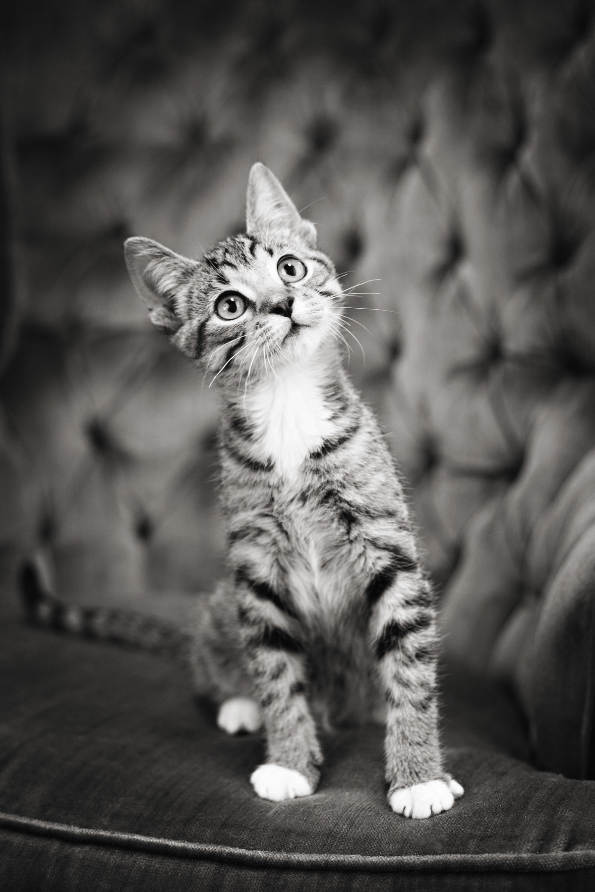 black and white photo of tabby cat in studio