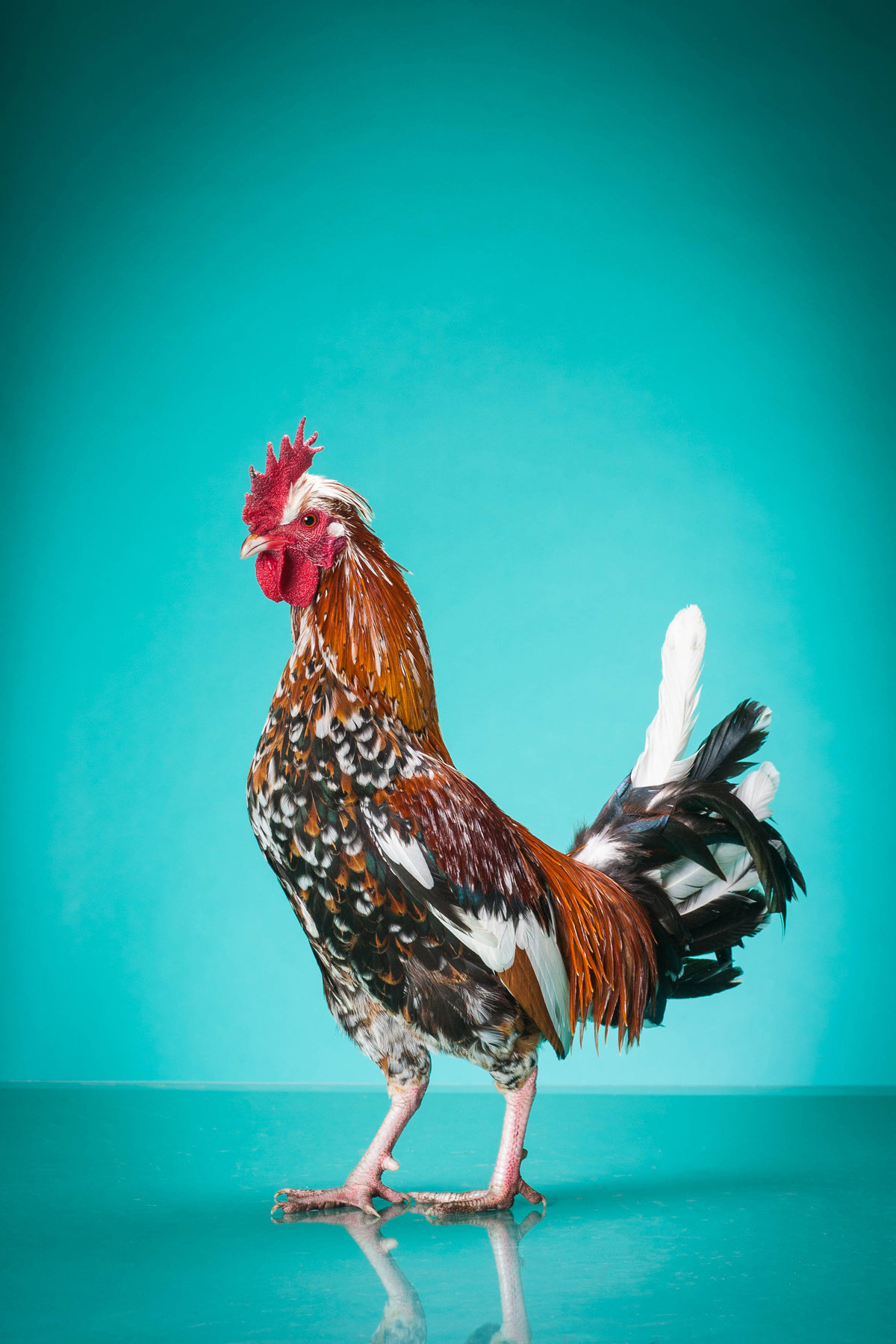 Old English Bantam Rooster Studio Photo