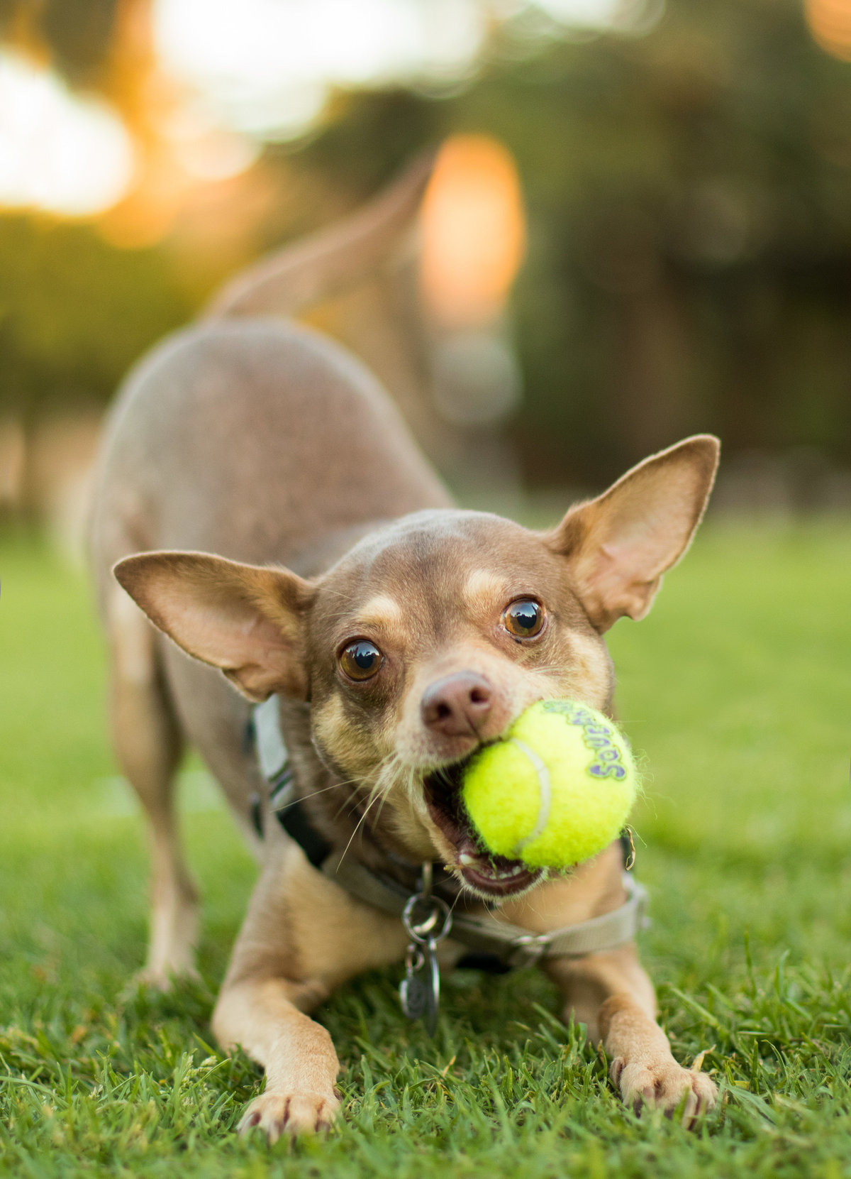 Chihuahua playing with a ball in San Diego