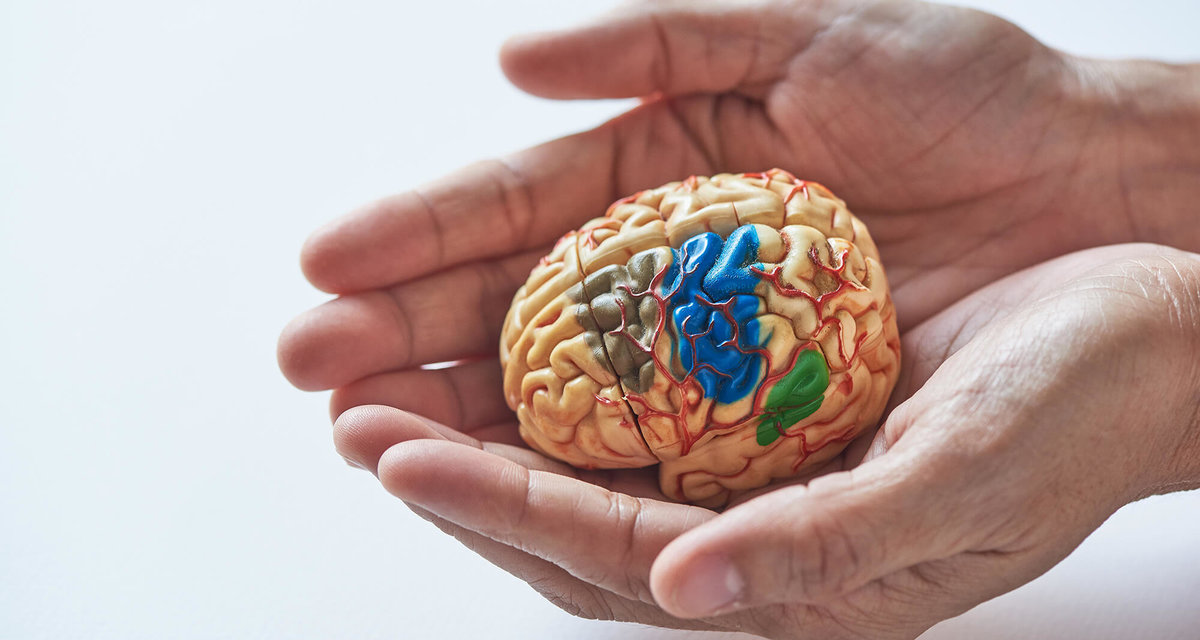 bigstock-Two-Hands-Holding-Brain-Model--254 2000px