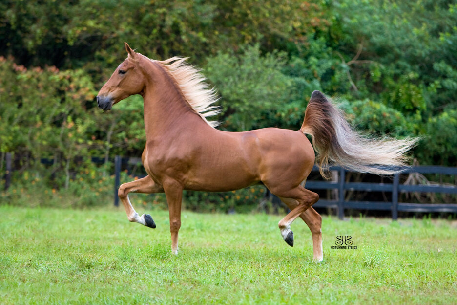 stunning-steeds-photo-american-saddlebred