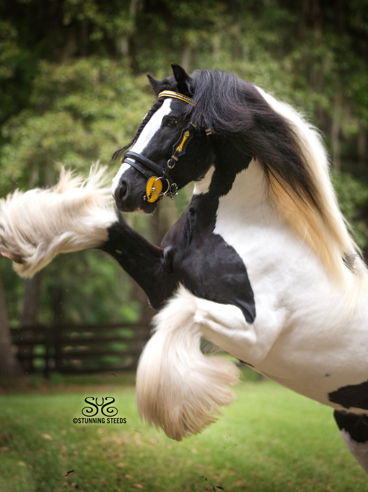 gypsy vanner pinto rearing stallion photo by Stunning Steeds