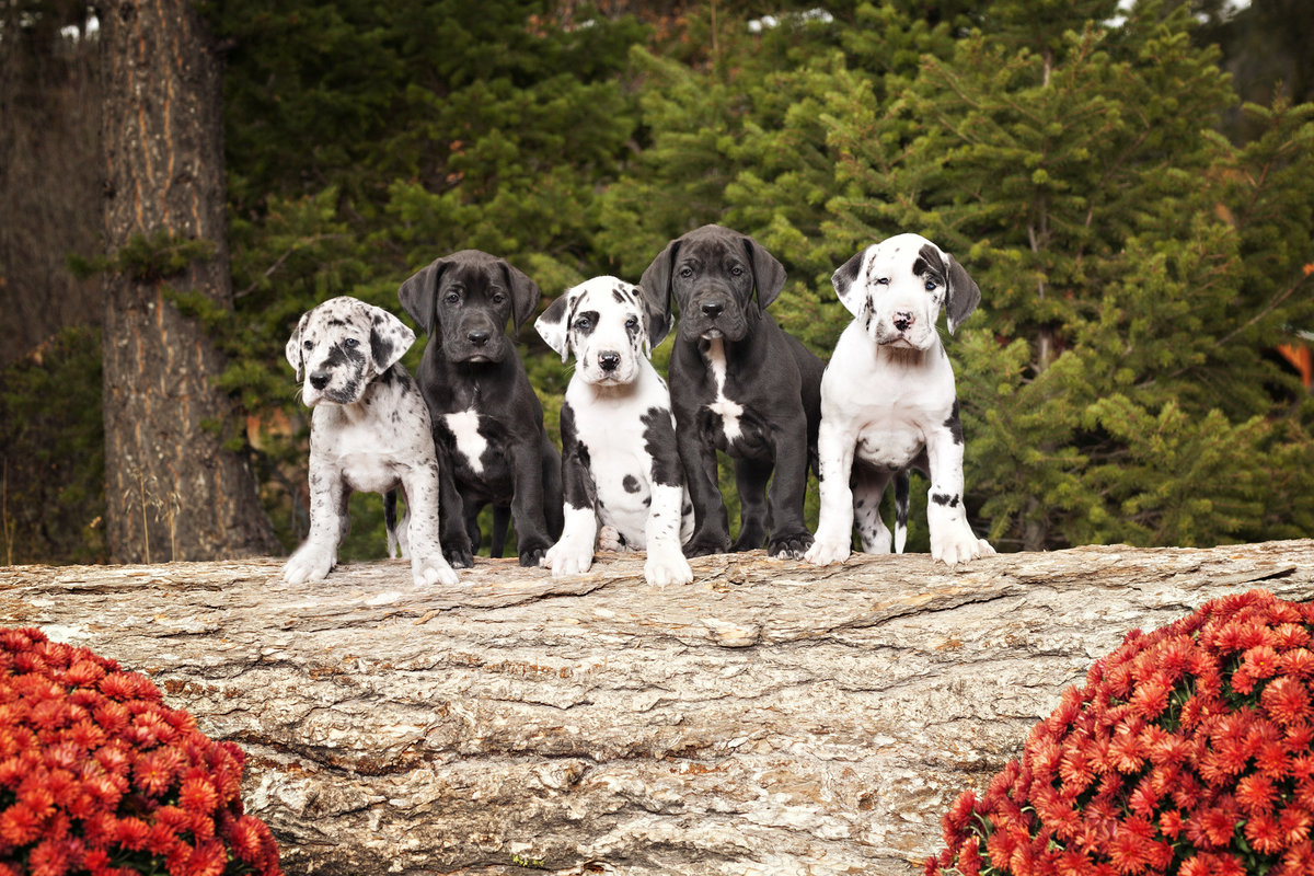 Great Dane Puppies in wooded area, Montana Dog Photography