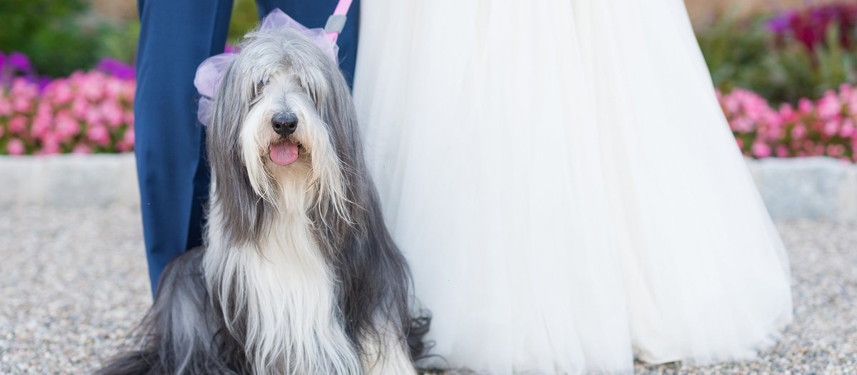 Gray and White Sheepdog with Bride and Groom photo