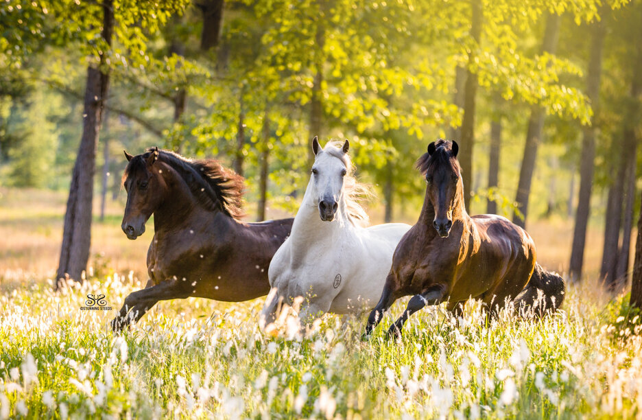stunning-steeds-photo-paso-fino-stallions-michael-gascon