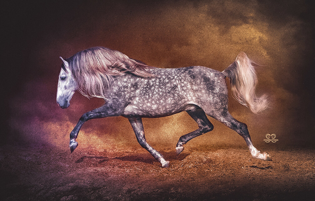 stunning-steeds-photo-dappled-andalusian-stallion