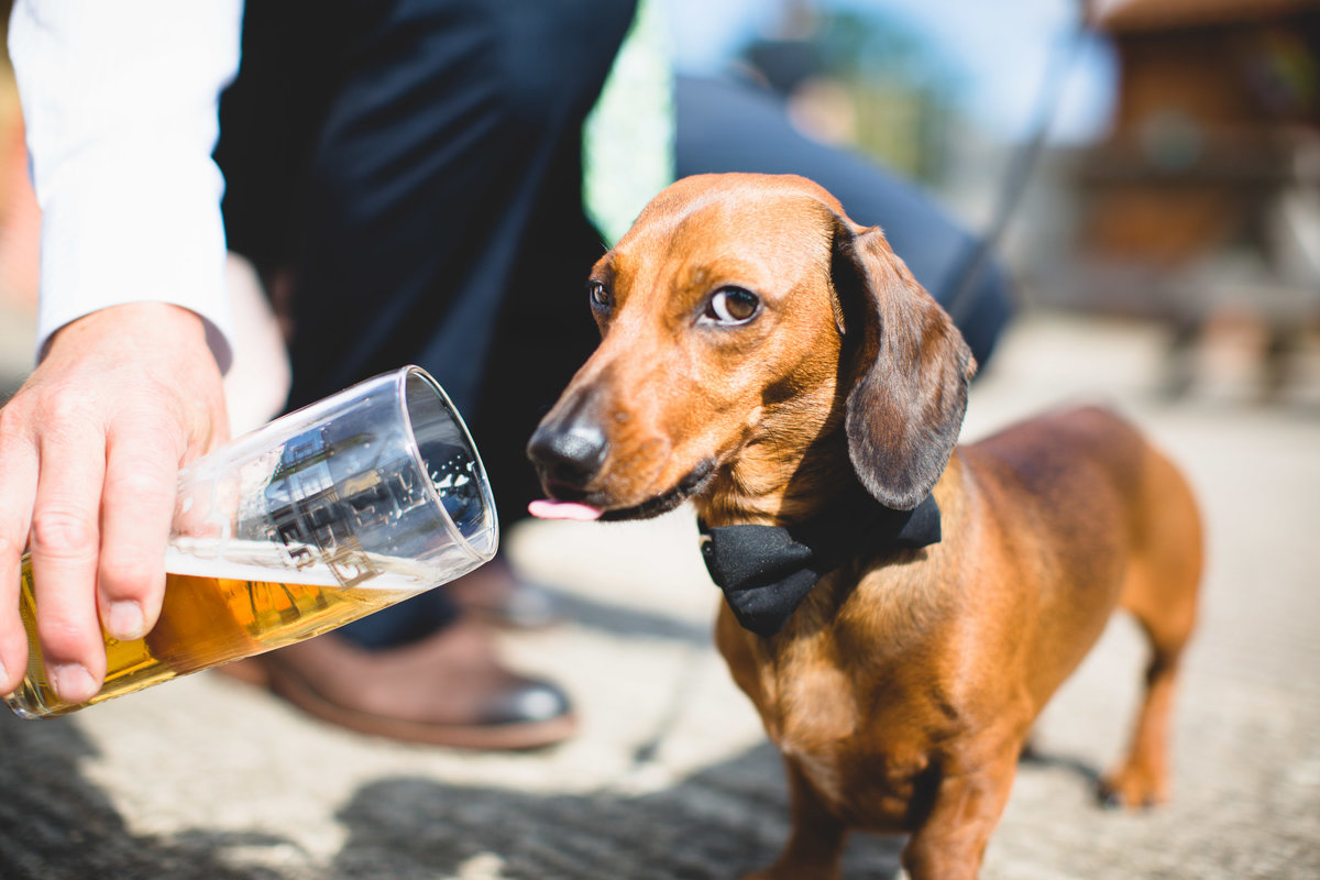 dachshund sausage dog drinking beer at a wedding wearing a bow tie