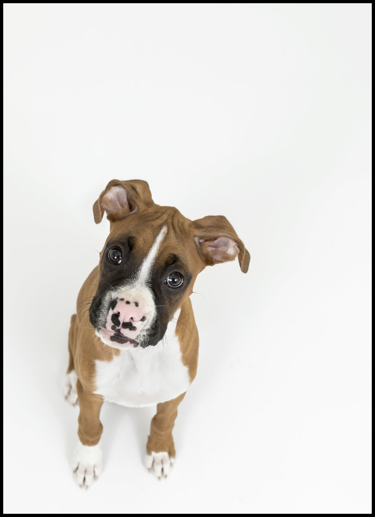 Cute boxer puppy in the studio in San Diego