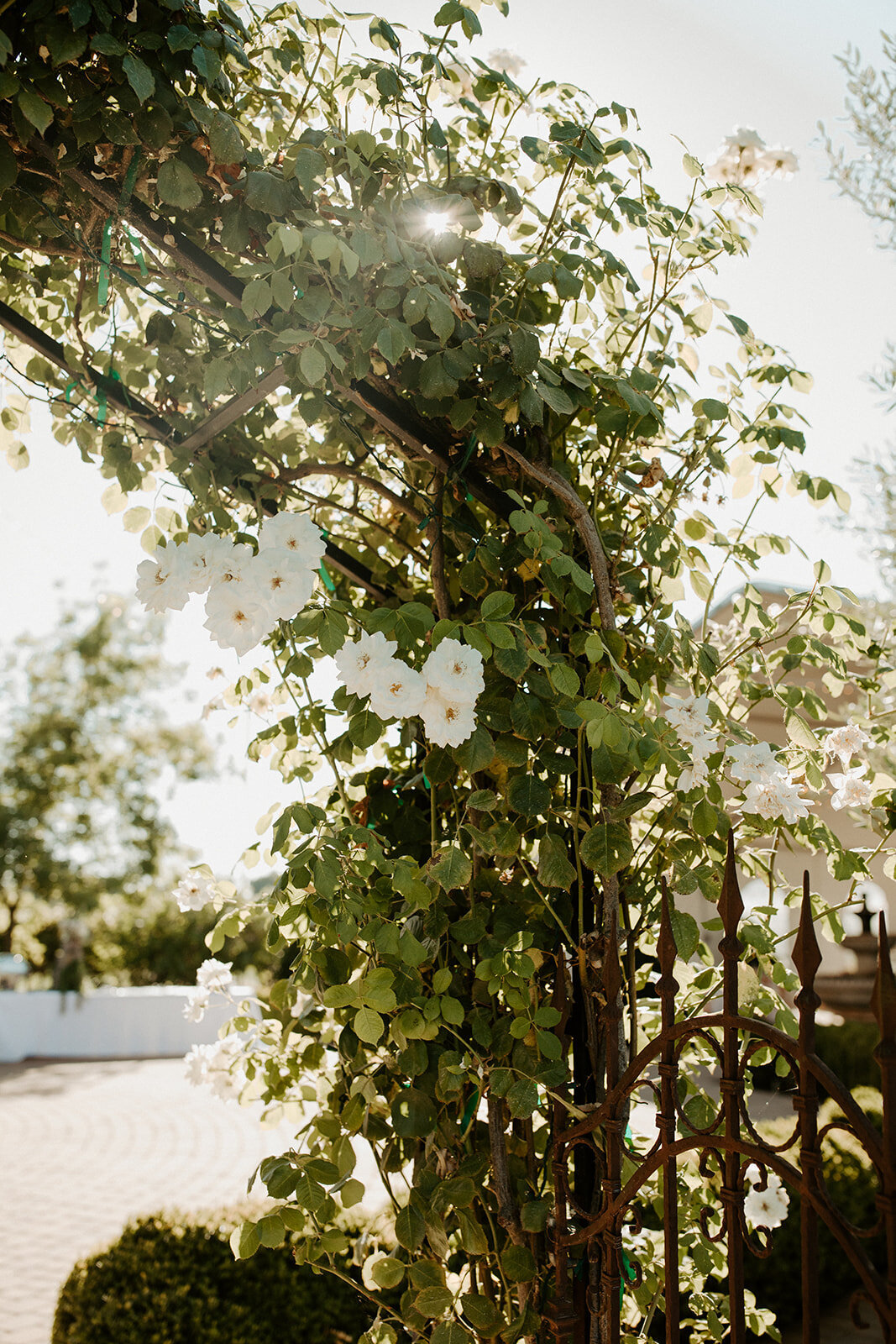 white garden roses on a arch