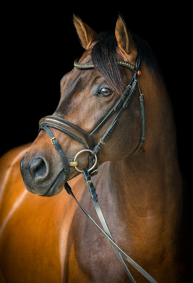 warmblood portrait photo by Stunning Steeds