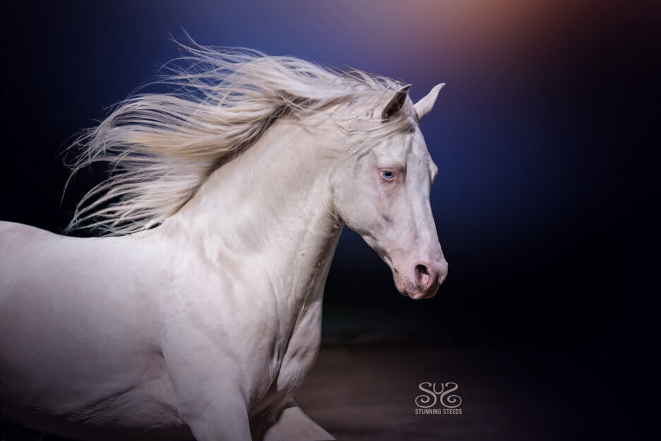stunning-steeds-photo-cremello-stallion