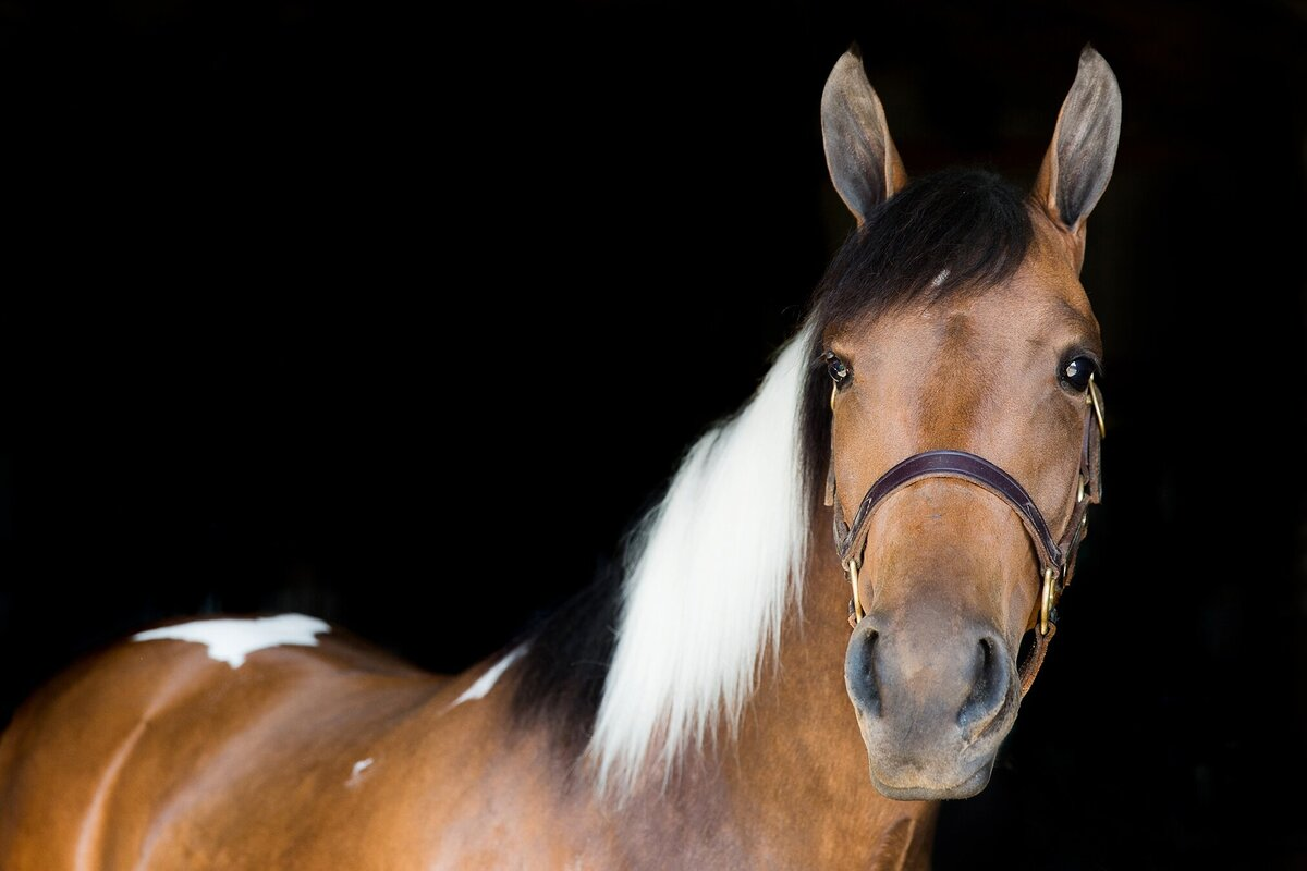 black background portrait of a paint mare