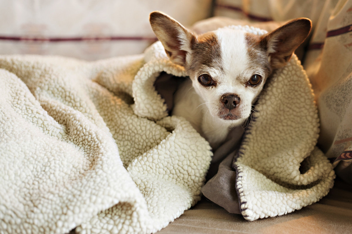 old Chihuahua dog at home photo