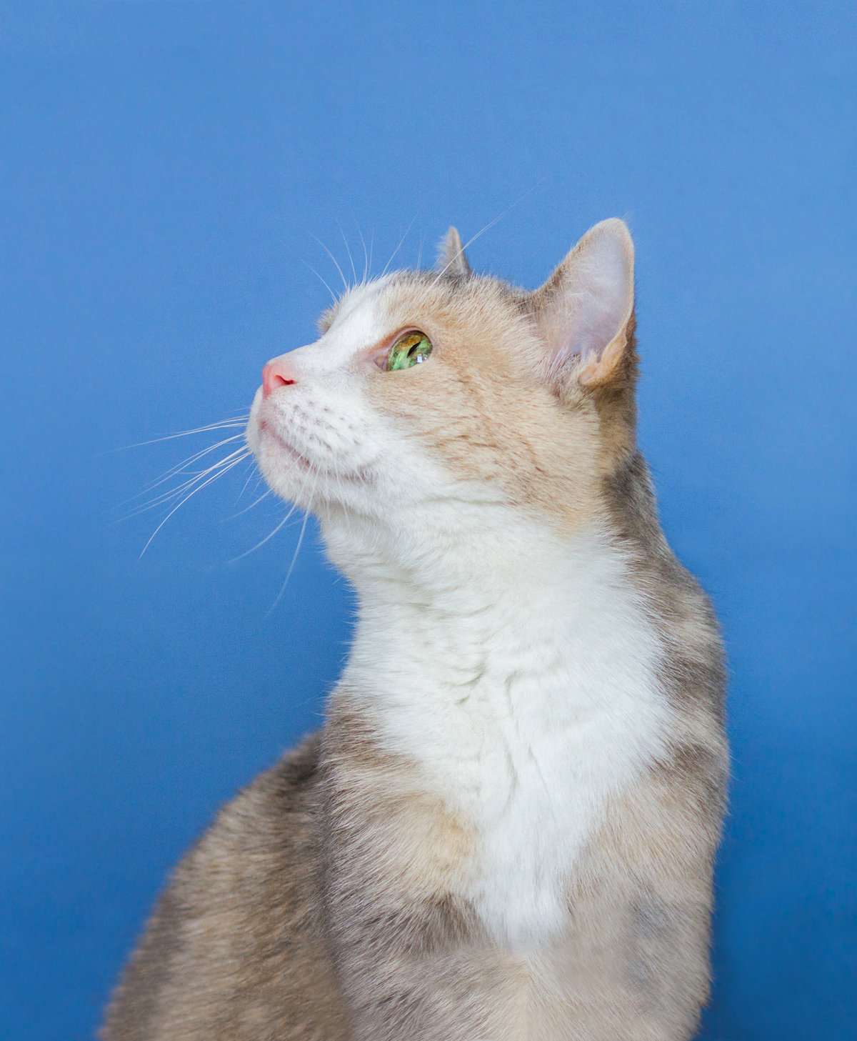 Cat Photographed On Blue Background Looking Up
