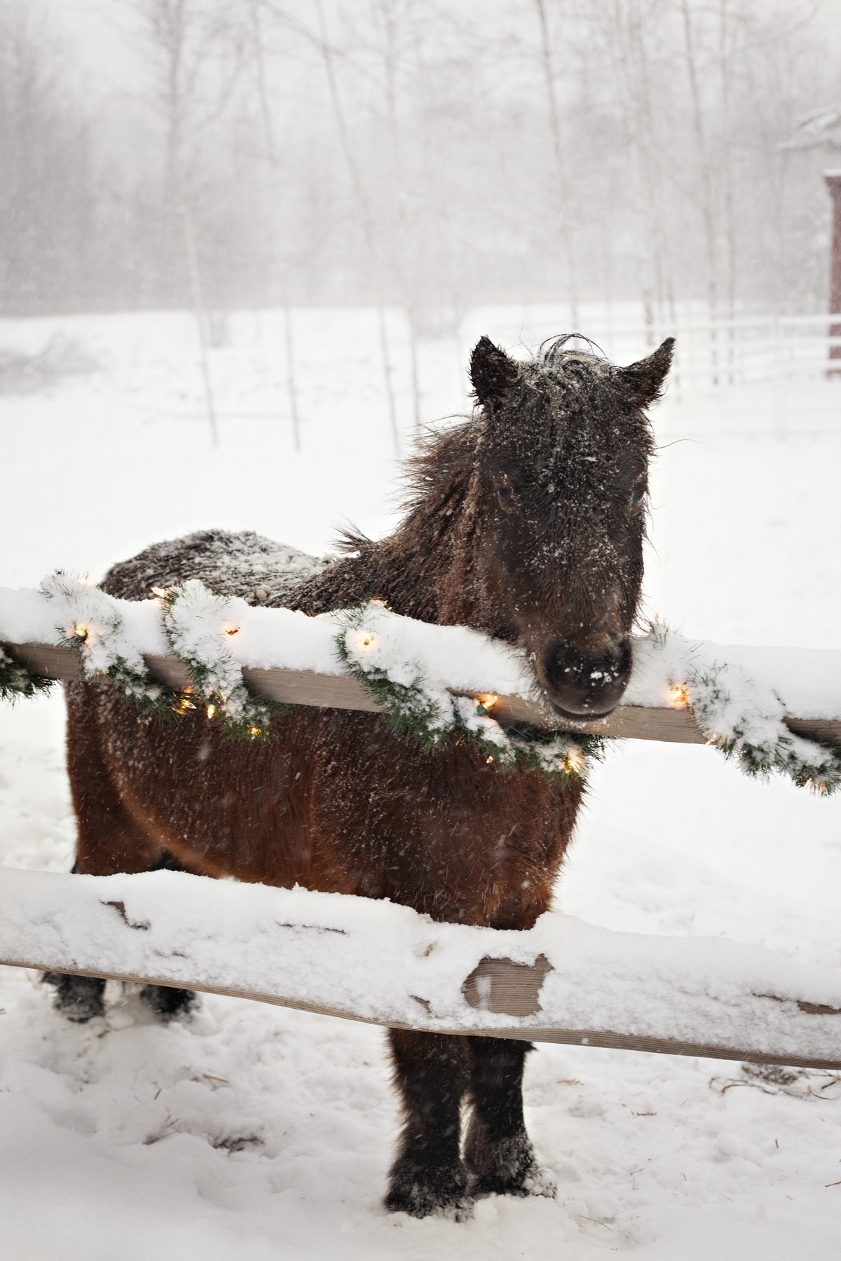 Miniature Horse in Winter photo