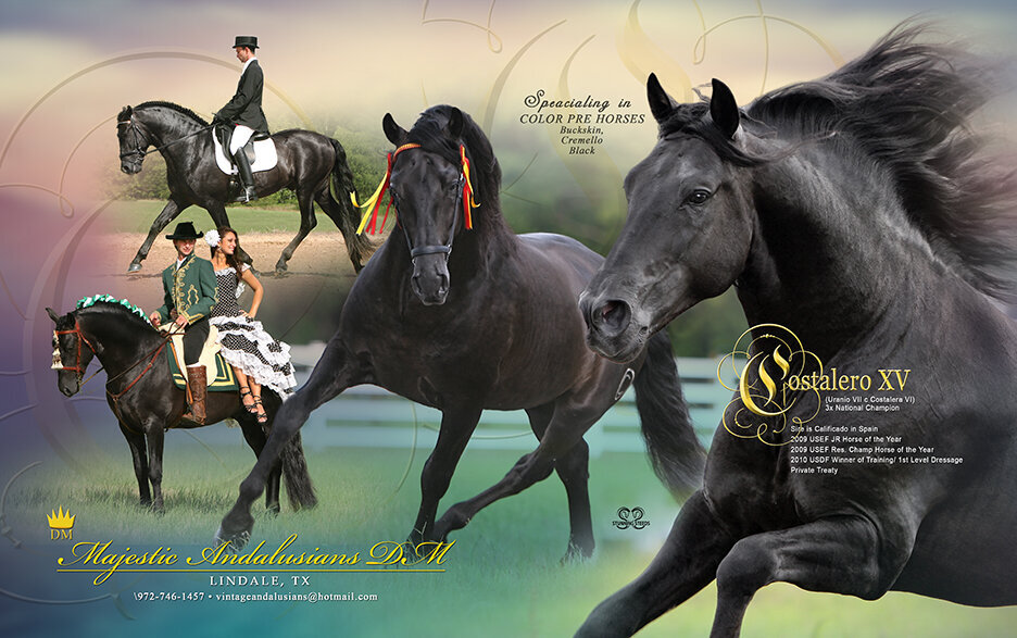 PRE horse black andalusian stallion ad design