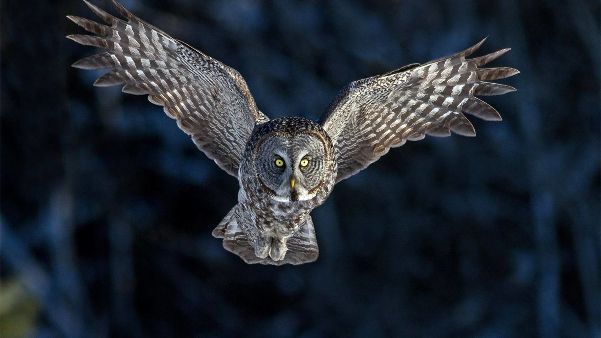 Flying Owl Flying Owl wallpaper.