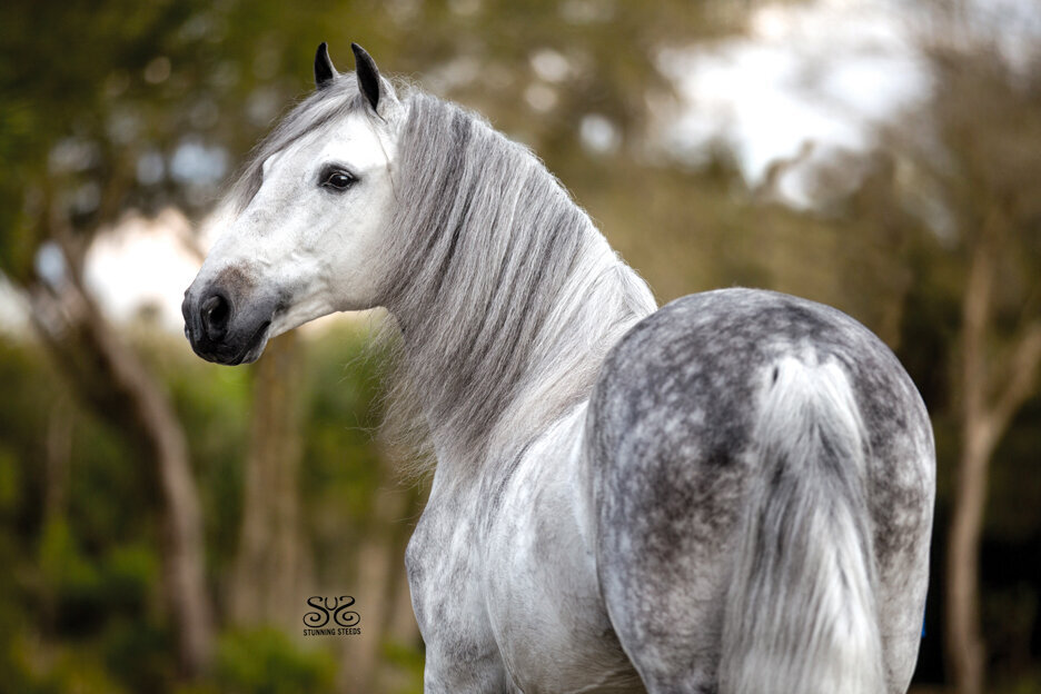stunning-steeds-photo-dapple-grey-paso-fino-stallion