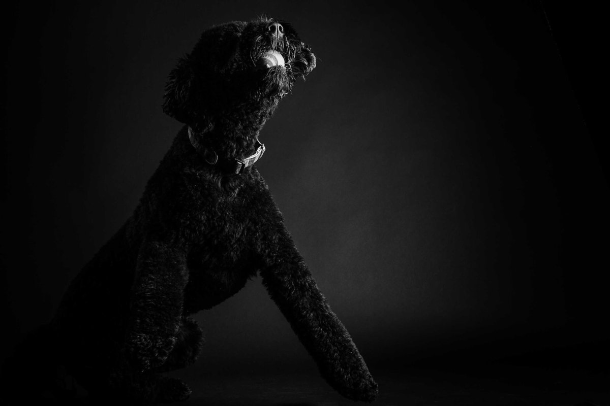 Black Standard Poodle Photography by King and Fields Studios Charleston SC