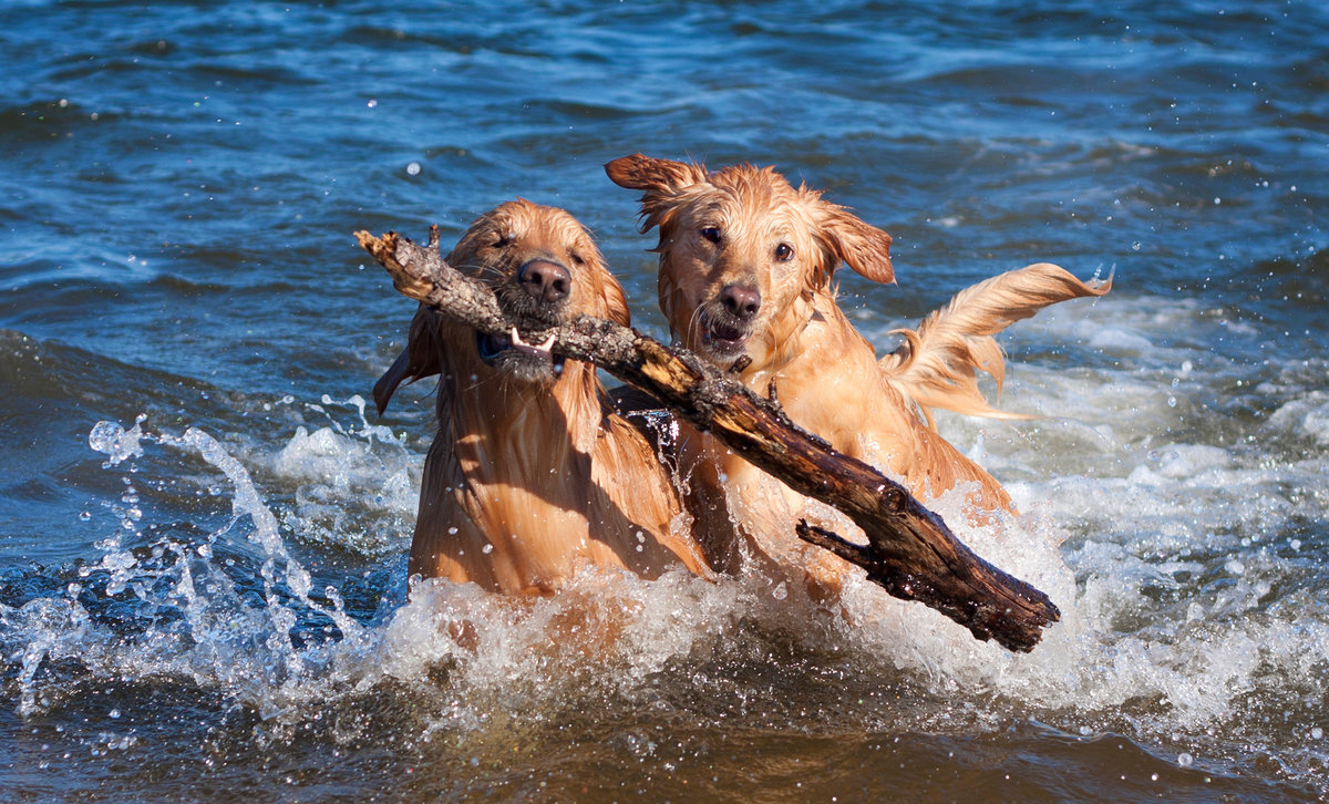 Dogs playing in the water with a stick
