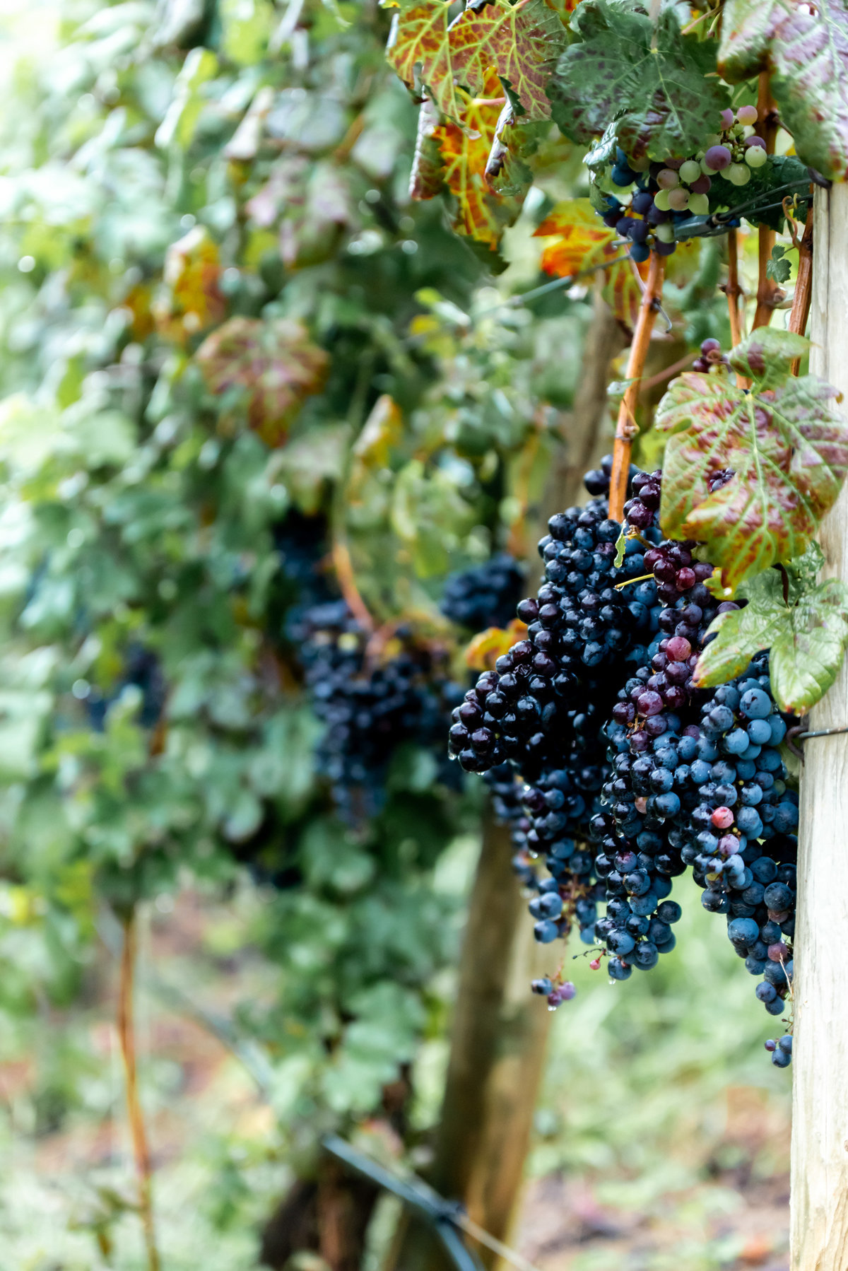 Grapes photographed at Delfosse Vinyard. Richmond and Charlottesville  wedding photographers