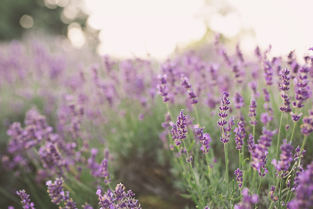 Sarah-Martin-Photography---Lavender-Loveliness010 (1)