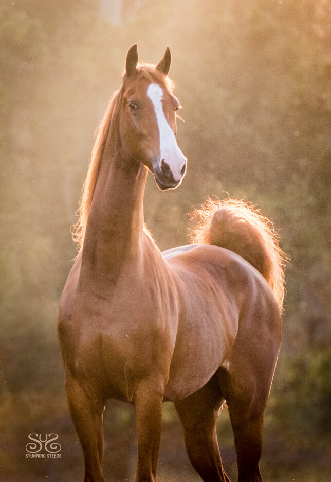 stunning-steeds-photo-chestnut-saddlebred-gelding