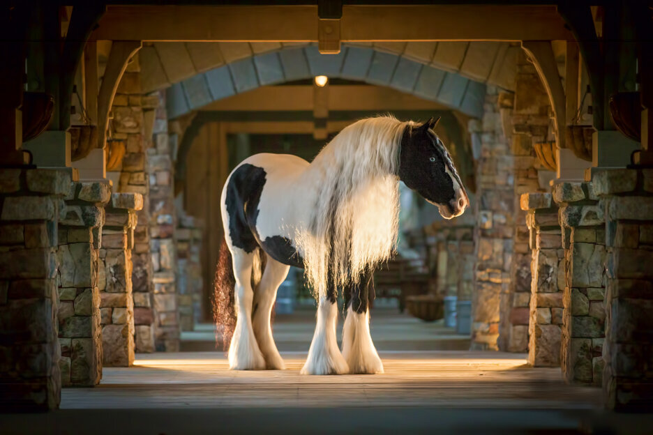 stunning-steeds-photo-gypsy-vanner-stillwater