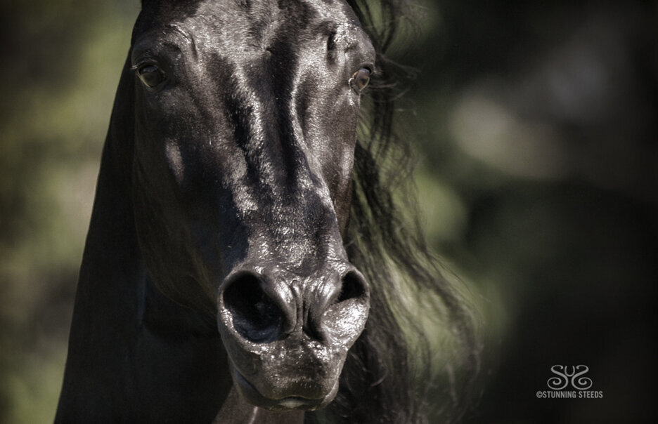 stunning-steeds-photo-black-stallion-face