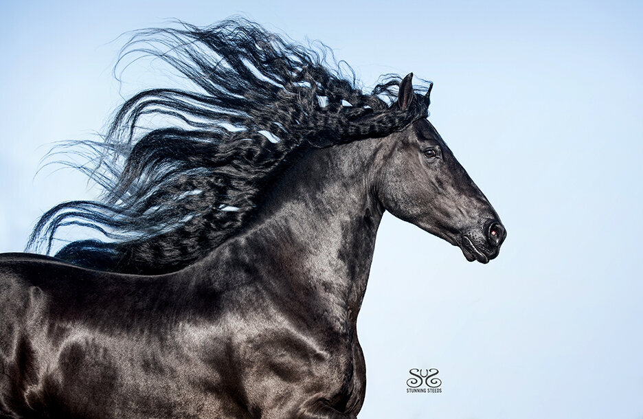 stunning-steeds-photo-Friesian-long-mane