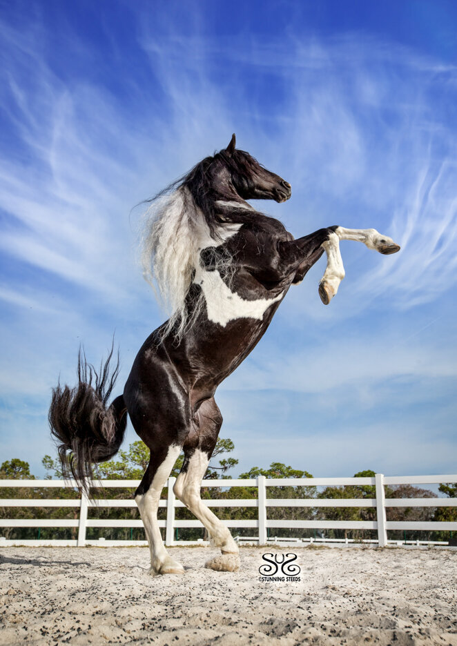 stunning-steeds-photo-rearing-pinto-friesian