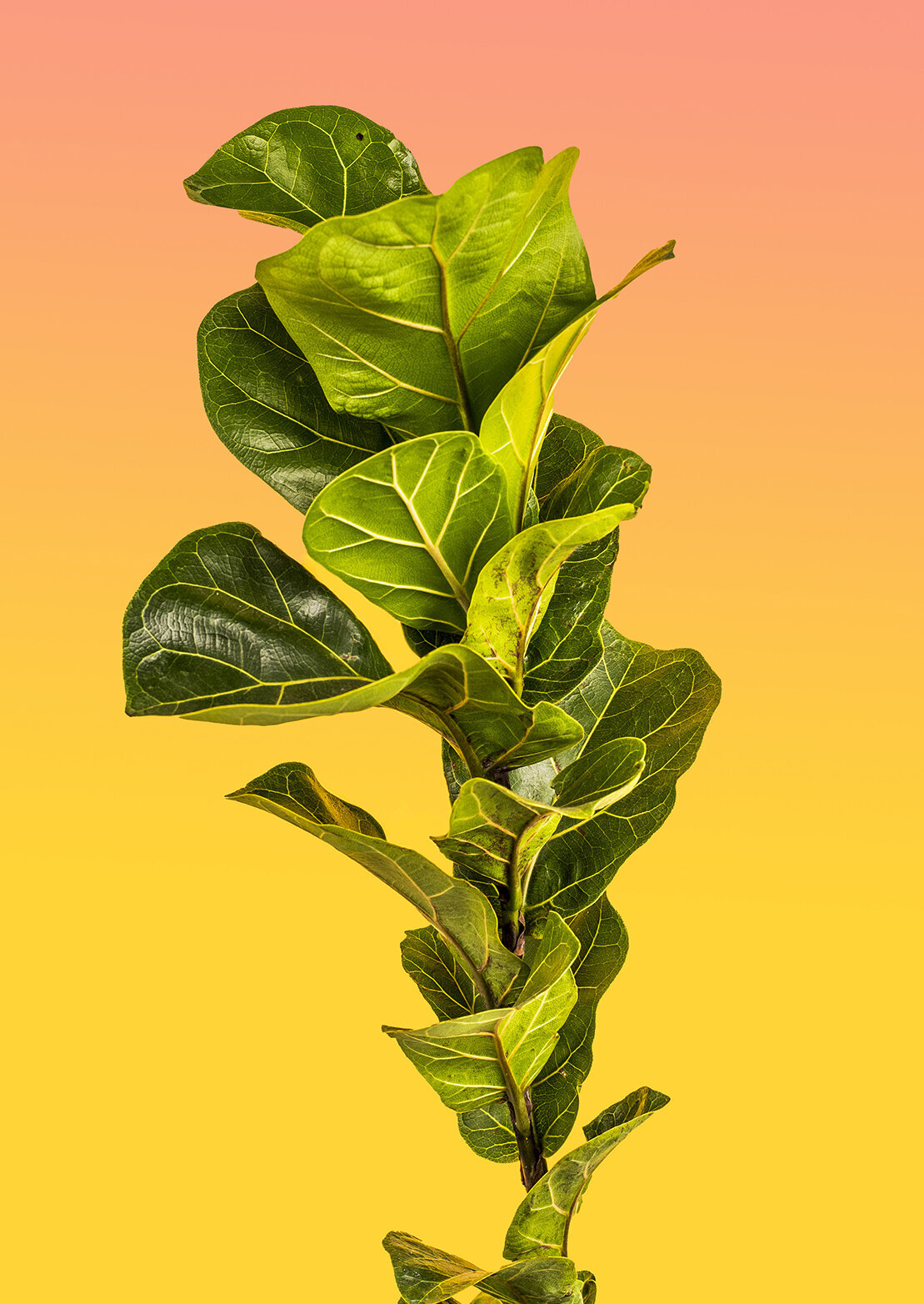 los angeles product photographer house plant project fiddle leaf fig