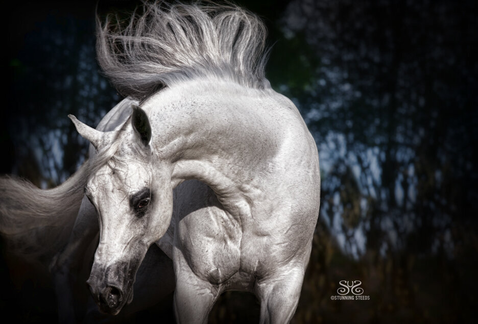 stunning-steeds-photo-arabian-horse-stallion