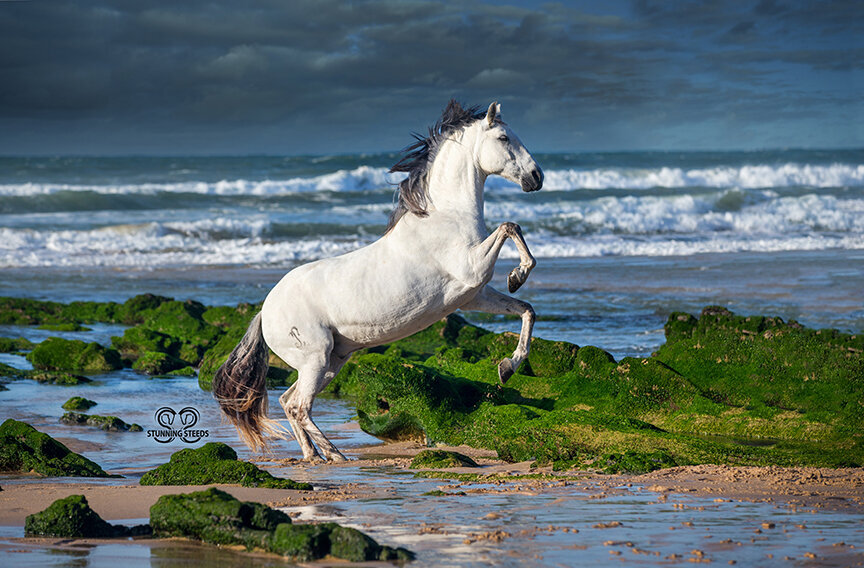rearing lusitano horse on beach photo by Stunning Steeds
