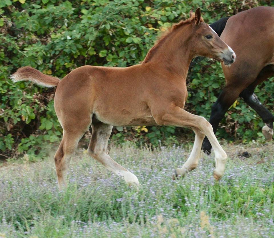 Connemara x Thoroughbred foal bred to excel in all disciplines
