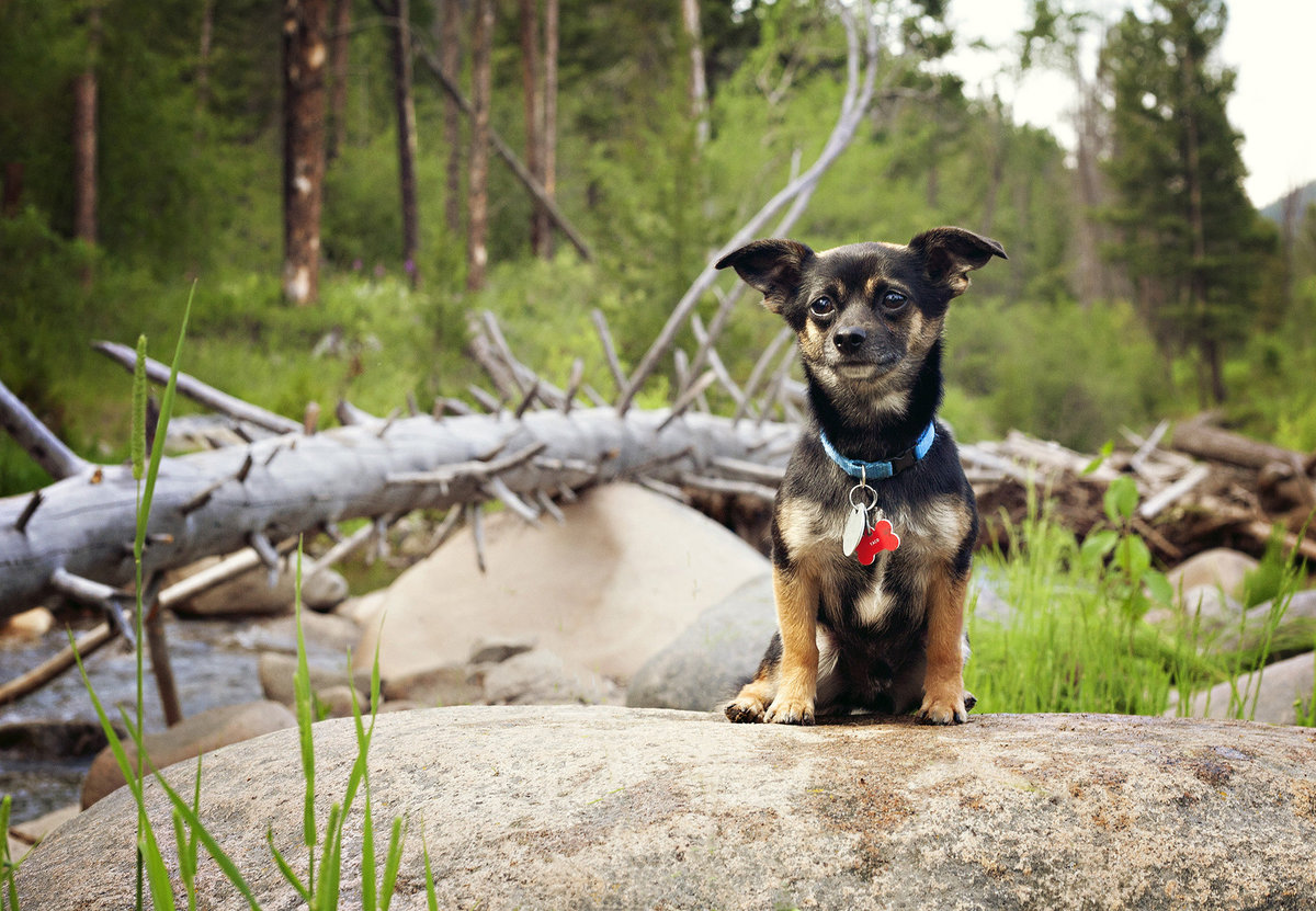 Chihuahua mix on rock by river in Montana Mountains