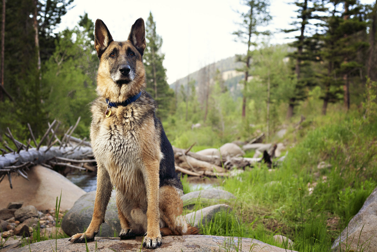 German Shepherd by a river in the Montana mountains