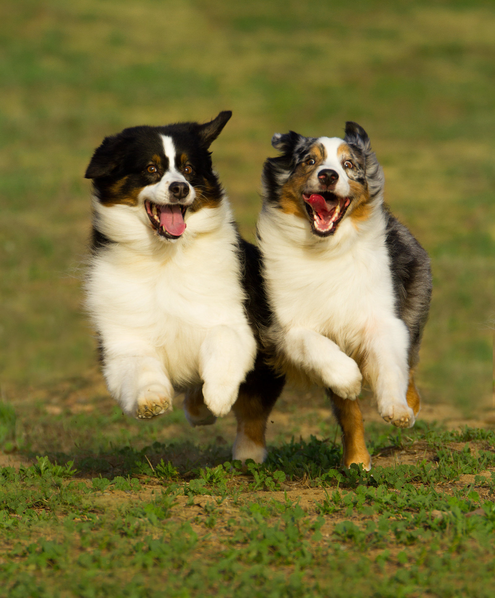Happy dogs running together in San Diego, CA photo