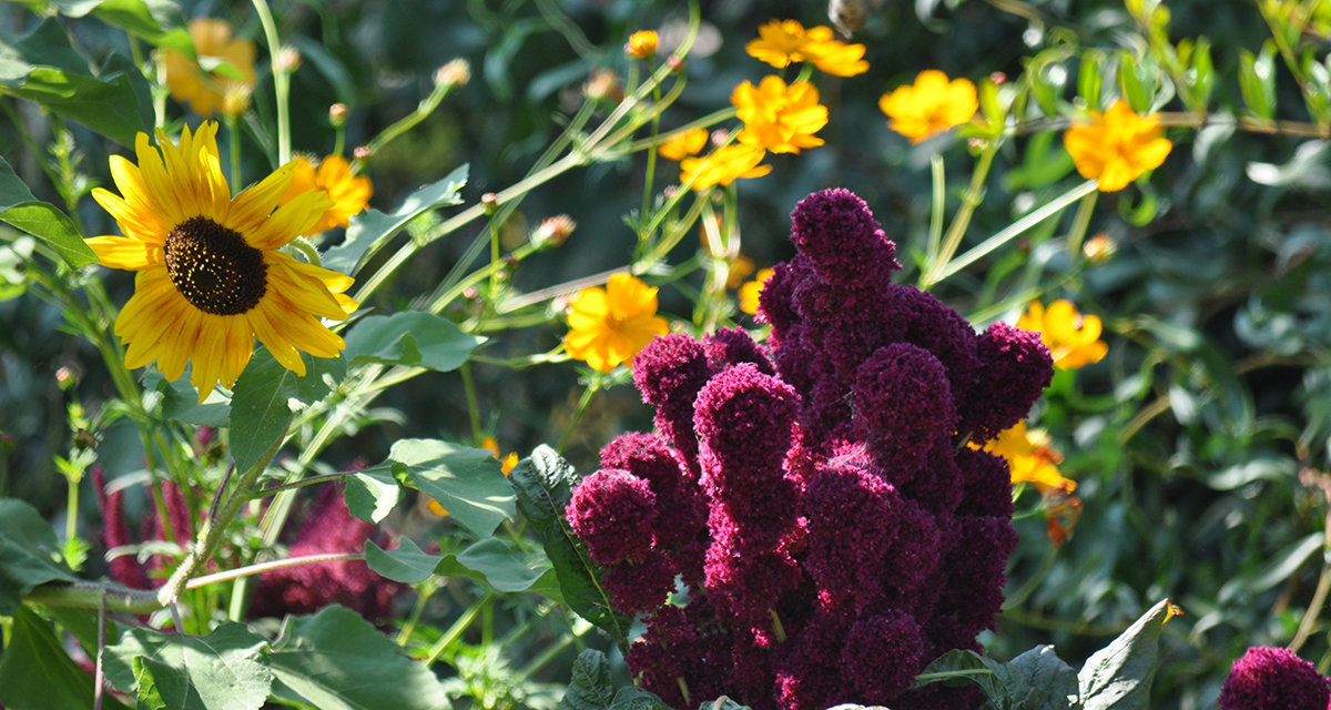 amaranth and sunflower